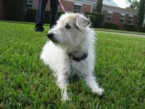 Love Of The Wirey Bradenton Dog