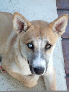 Breed Profile Shepherd Husky Mix Bradenton Dog